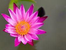 Free Pink Lotus Flower Stock Image - 20556461