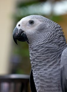 Free Gray Parrot Stock Photo - 20556810
