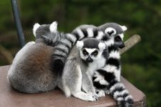Free Lemur Family Stock Photography - 20557032
