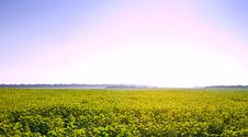 Free Sunflowers Field Stock Photography - 20557802