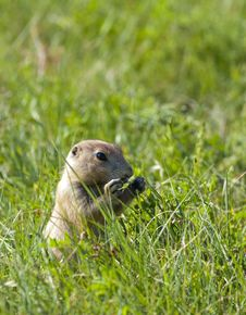 Free Prairie Dog Eating Grass. Royalty Free Stock Photos - 20557838