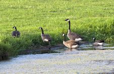 Free Group Of Geese Leaving Pond. Stock Images - 20557944