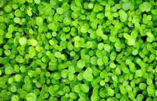 Free Green Grass Texture Royalty Free Stock Photo - 20558475