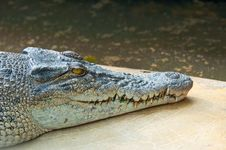 Free Ferocious Crocodile Royalty Free Stock Photography - 20558637