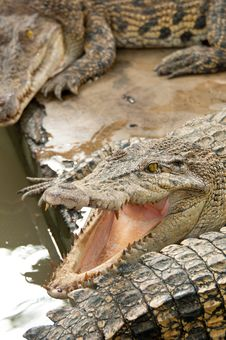 Free Ferocious Crocodile Royalty Free Stock Photos - 20558768