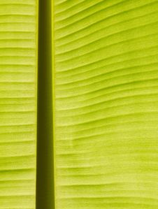 Free Back Lit Fresh Green Banana Leaf Royalty Free Stock Images - 20559339