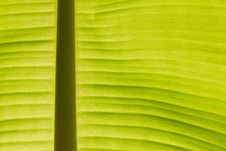 Free Back Lit Fresh Green Banana Leaf Royalty Free Stock Images - 20559379