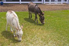 Free Two Donkeys In The Barnyard Royalty Free Stock Photo - 20561255