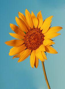 Free Sunflower Stock Photo - 20562240