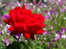 Free Bud Of A Red Rose Royalty Free Stock Photos - 20562308