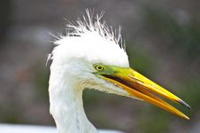 Free Snowy White Egret Portrait Stock Photography - 20562882
