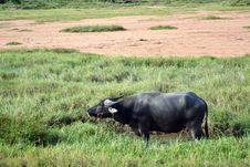Free A Buffalo In The Farm Stock Images - 20562984