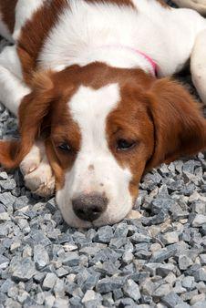 Free Breton Puppy Stock Photography - 20563222