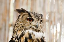 Free Owl Portrait Royalty Free Stock Photography - 20563737