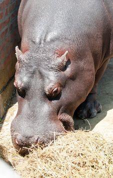 Free Hippo Eating Royalty Free Stock Photos - 20565208