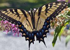 Free Eastern Tiger Swallowtail (Papilio Glaucus) Royalty Free Stock Photos - 20565558