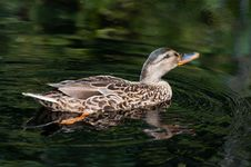 Free Female Mallard Swimming In Dark Water Stock Photography - 20566742