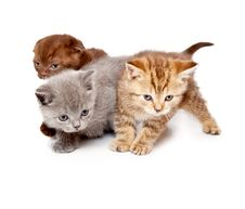 Free A Little Scottish Straight Kitten Is On The Floor Royalty Free Stock Photo - 20567175