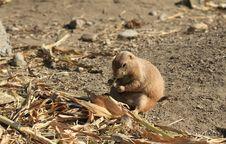Black-tailed Prairie Dog Stock Photos