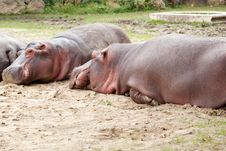 Free Hippopotamus Royalty Free Stock Photos - 20567598