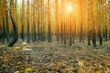 Free Burnt Pine Forest Stock Images - 20567644