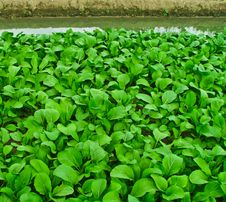 Chinese Cabbage Growing Stock Photos