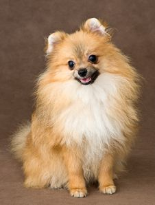Free Puppy Of Breed A Spitz-dog Royalty Free Stock Images - 20568359