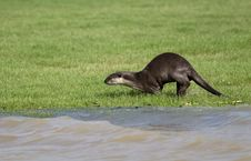 Free Smooth Coated Otter Stock Photos - 20568483