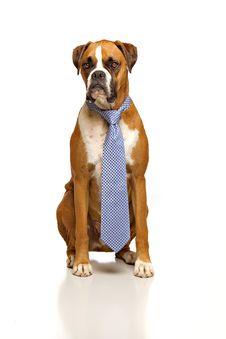Free Boxer, Working Dog Stock Image - 20568661