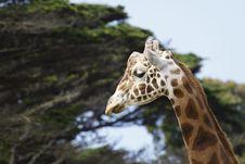Free Giraffe Head Royalty Free Stock Image - 20569846
