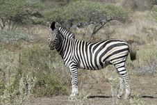 Free Zebras Watching Stock Photos - 20569963