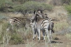 Free Zebras Watching Stock Image - 20569981