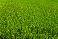 Free Jasmine Rice In The Field Background Royalty Free Stock Images - 20573319