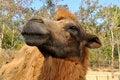 Free Bactrian Camel Stock Photos - 20578593