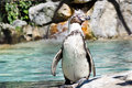 Free Humboldt Penguin Royalty Free Stock Images - 20579749