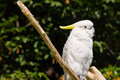 Free Yellow-crested Cockatoo Stock Photo - 20579760