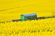 Free Rapeseed Flowers Royalty Free Stock Image - 20570106