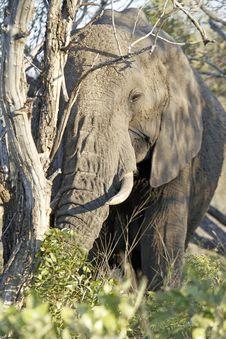 Free Elephant Stock Photos - 20570113