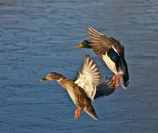 Free Mallard Couple Coming In For Landing Stock Photo - 20571180