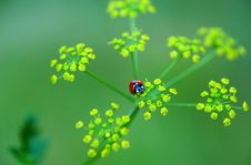 Free Ladybird Royalty Free Stock Photo - 20572385
