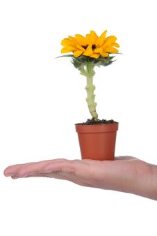 Hand Holding Pot With Sunflower Royalty Free Stock Photography