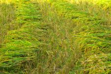 Row Of Paddy Rice After Cut Process Royalty Free Stock Image