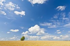 Free Alone Tree In Wheat Field Stock Images - 20573484