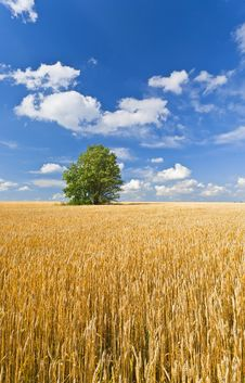 Free Alone Tree In Wheat Field Royalty Free Stock Image - 20573516
