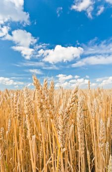 Gold Ears Of Wheat Under Sky Stock Images