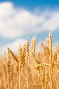 Gold Ears Of Wheat Under Sky Royalty Free Stock Images