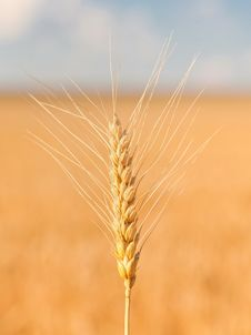 Gold Ears Of Wheat Under Sky Royalty Free Stock Photos