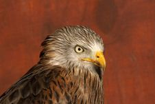 Head Study Of A Red Kite Bird Of Prey Royalty Free Stock Photo