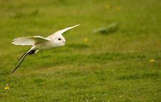 Free Bob The Barn Owl I Stock Photos - 20575303