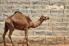 Free Camel Royalty Free Stock Photo - 20575615